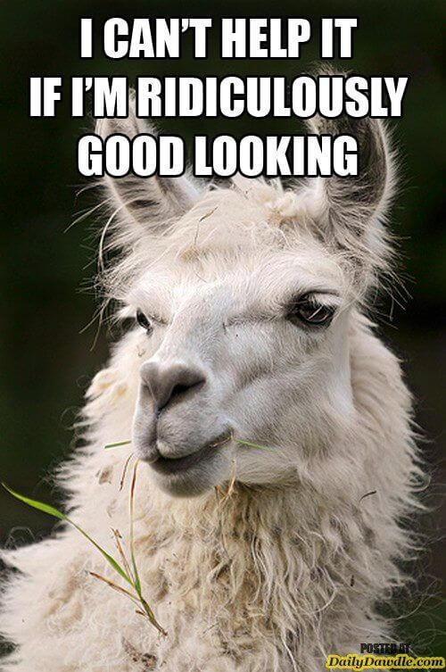 alpaca funny images 16 (1)