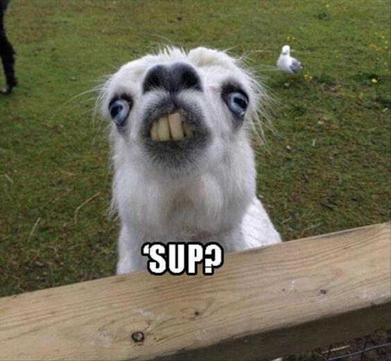 alpaca puns 23 (1)