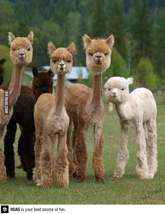 alpacas are beautiful 33 (1)
