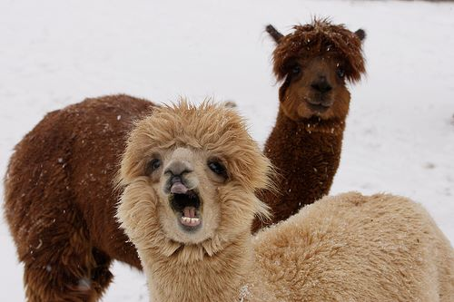 alpacas are beautiful 38 (1)