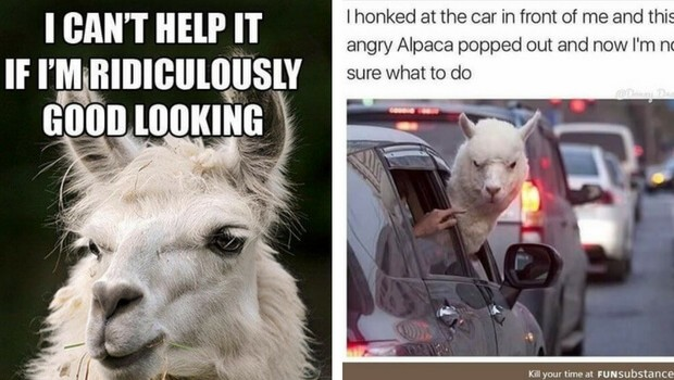 38 Alpaca Memes That Will Either Be The Funniest Or
