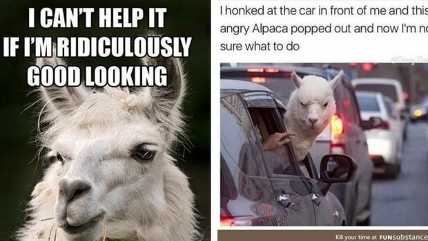 alpaca memes feat (1)
