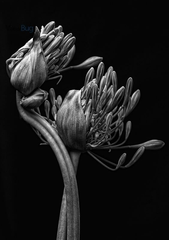 black and white images of flowers 12 (1)