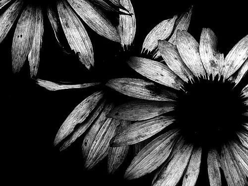 black and white pics of flowers 13 (1)