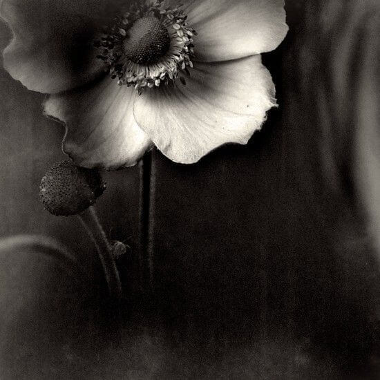 black and white pics of flowers 14 (1)
