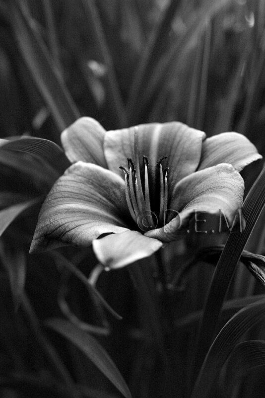 black and white pics of flowers 15 (1)