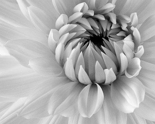 black and white pics of flowers 16 (1)