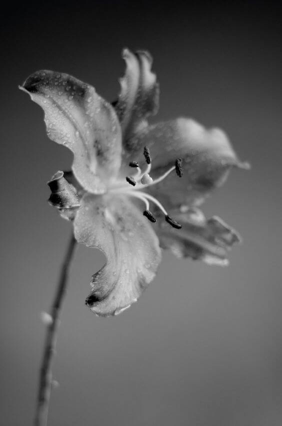 colorless pictures of flowers 22 (1)