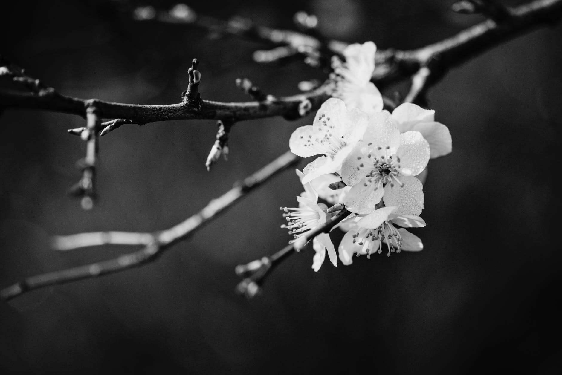 black and white pictures of flowers 29 (1)