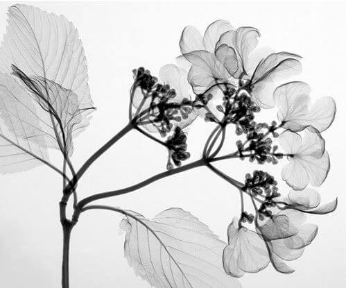 black & white pictures of flowers 4 (1)