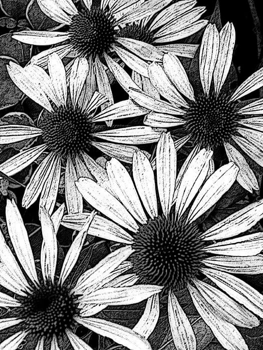 black and white images of flowers 8 (1)