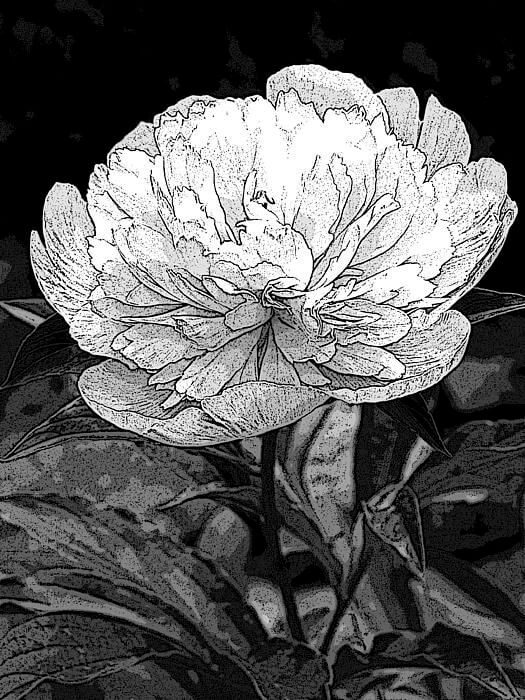 black and white images of flowers 9 (1)