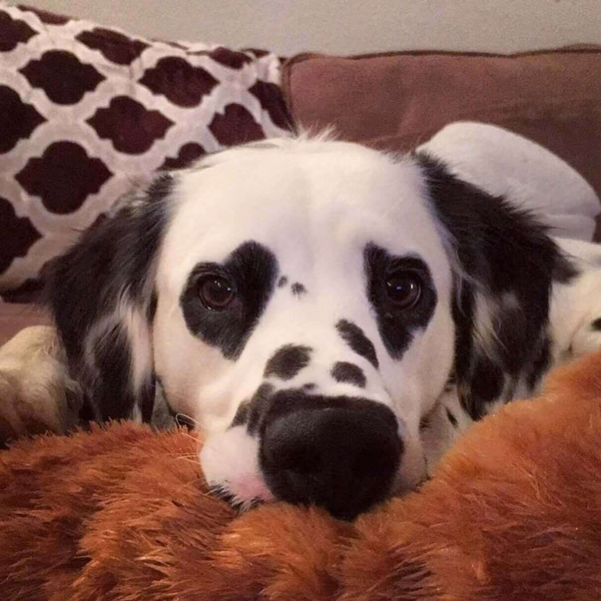 charlie the dalmatian heart shaped eyes 1 (1)
