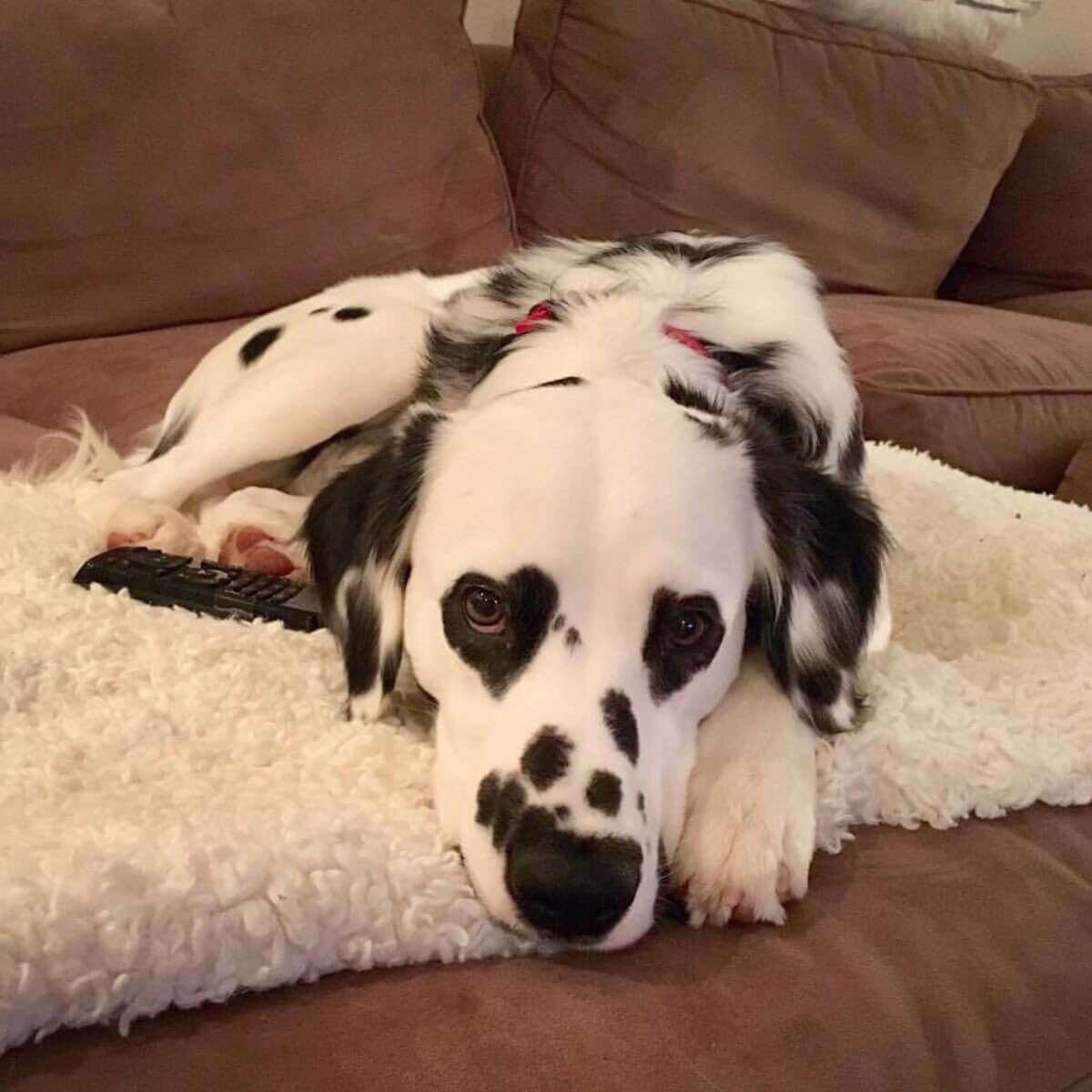 charlie the dalmatian heart shaped eyes 2 (1)