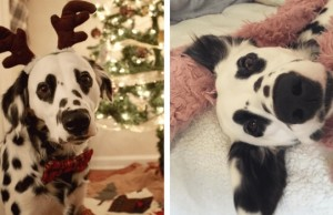charlie the dalmatian heart shaped eyes feat (1)