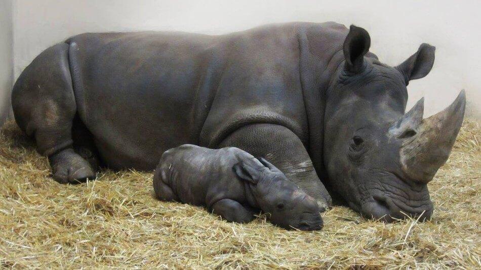 newborn baby white rhino 1 (1)