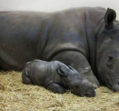 newborn white baby rhino feat (1)