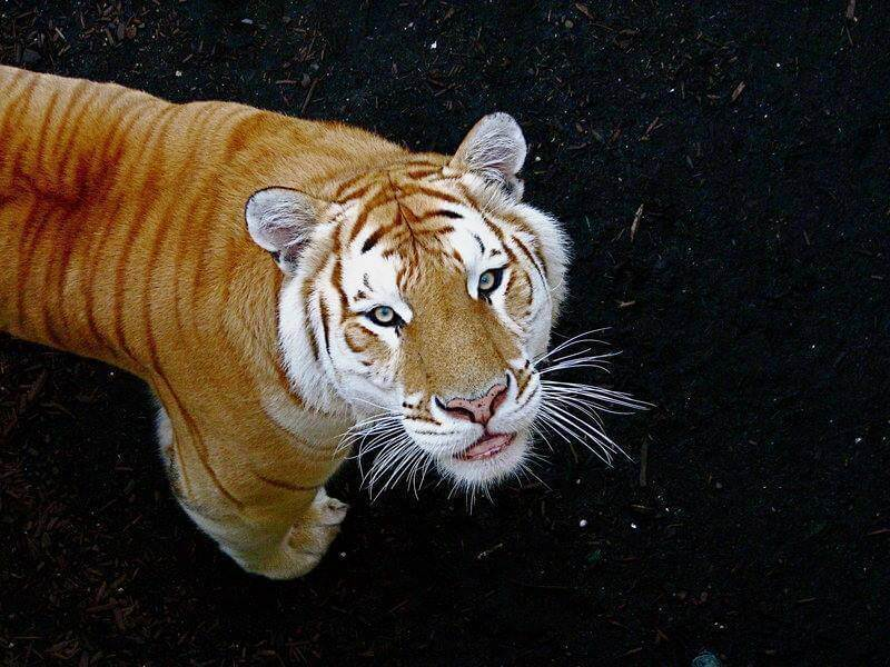 rare golden tiger 10 (1)