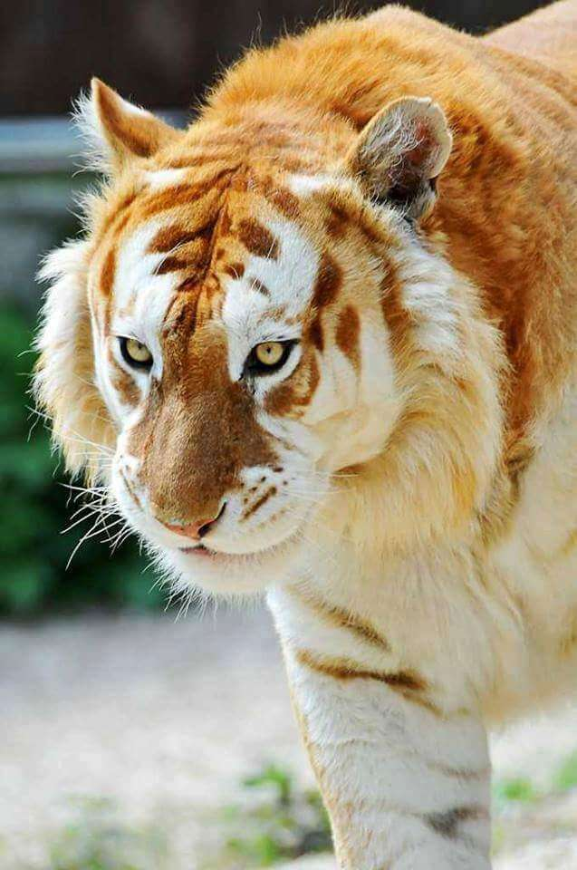 rare golden tiger 3 (1)