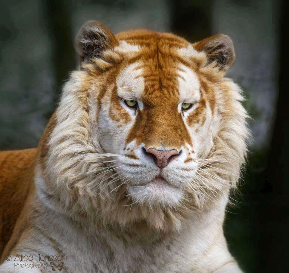 rare golden tiger 4 (1)