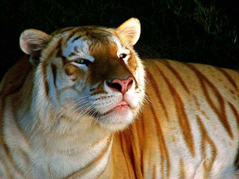 rare golden tiger 5 (1)