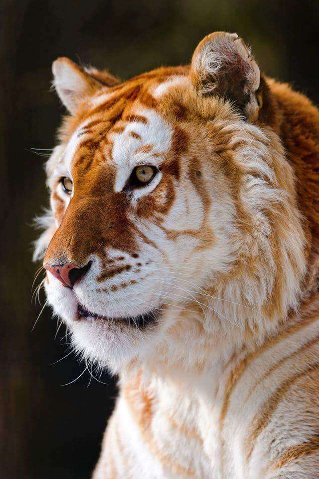 rare golden tiger 6 (1)