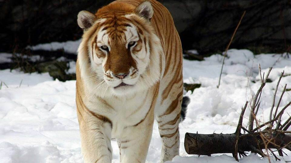 rare golden tiger 8 (1)