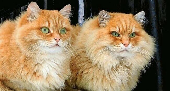 siberian cats take over farm feat (1)