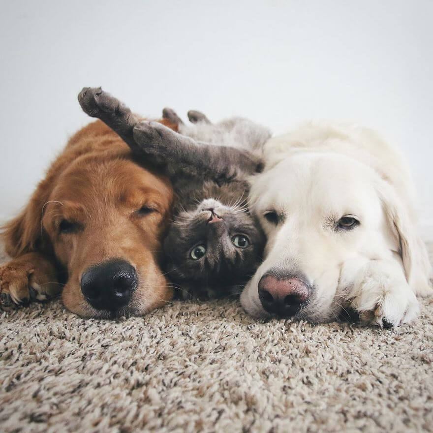 two goldens and a cat photos 10 (1)