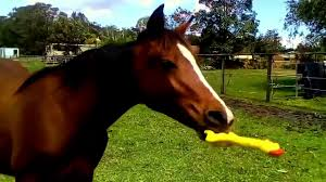 horse playing with rubber chicken 2 (1)