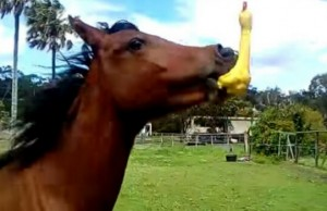 horse playing with rubber chicken good feat (1)