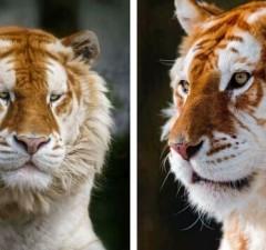 rare golden tiger feat (1)