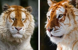 rare golden tiger feat (1)