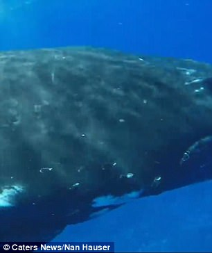 whale protects diver 5 (1)