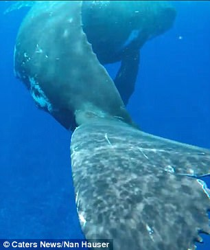 whale protects diver 6 (1)