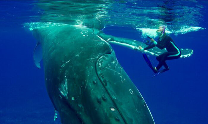 whale protects diver 8 (1)