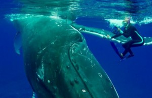 whale protects diver from shark feat (1)