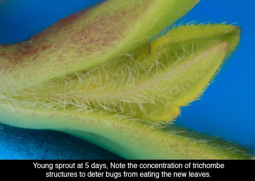 cannabis microscope photos 17 (1)