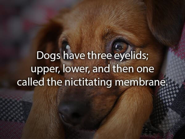 fun facts about golden retrievers 10 (1)