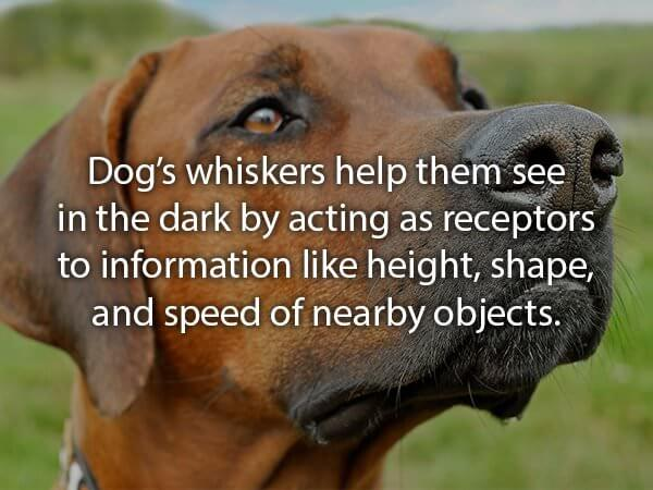awesome facts about golden retrievers and other dogs 21 (1)