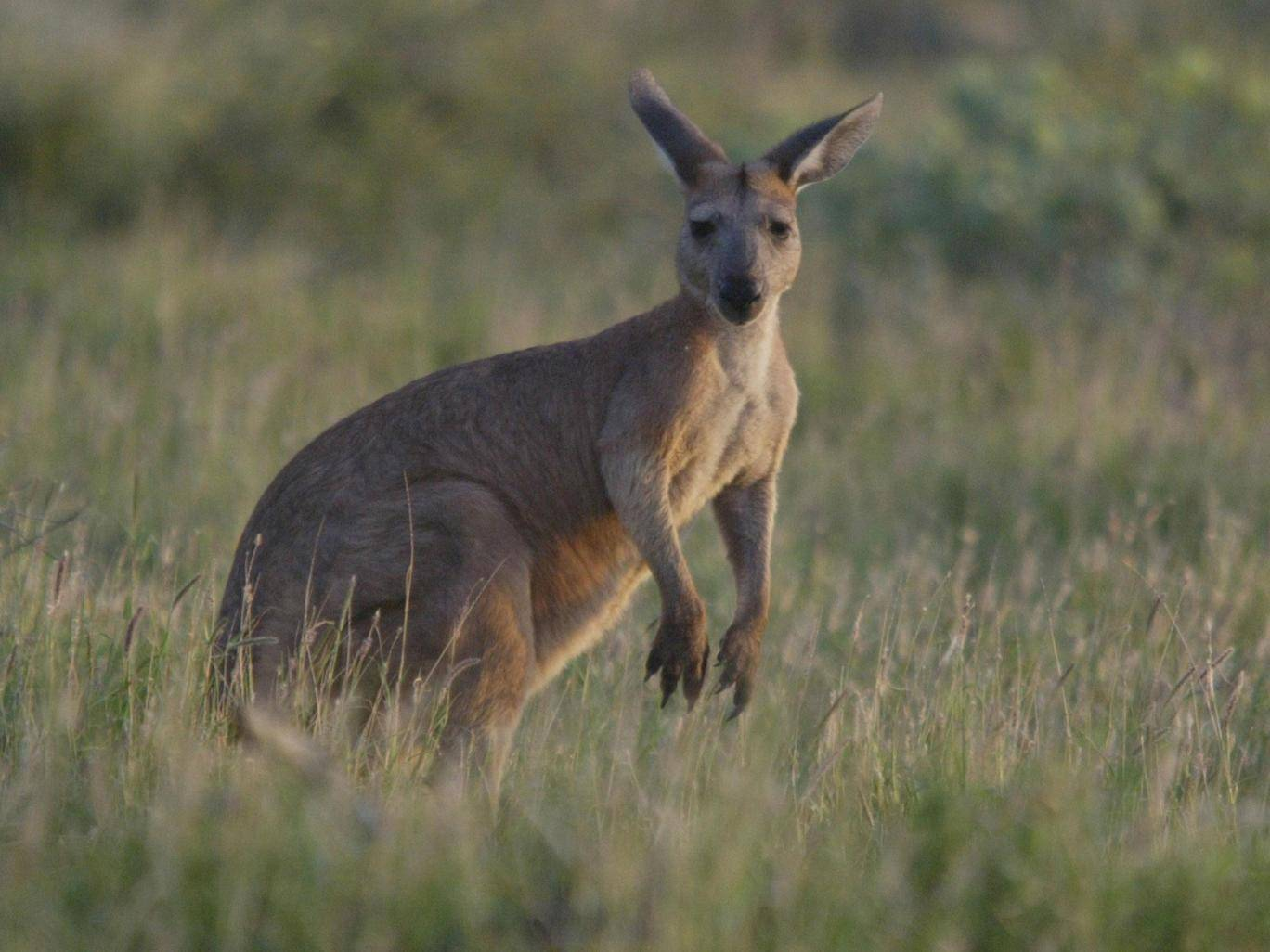 kangaroo australia population 1 (1)