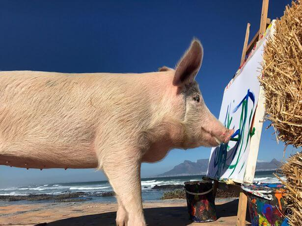 pigcasso the painting pig 4 (1)
