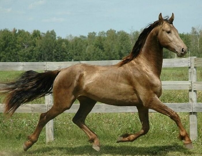 rarest horse breed 12 (1)