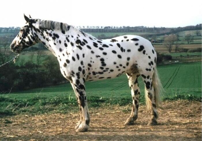 rarest horse breed 16 (1)