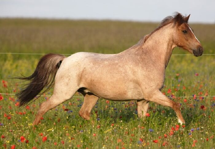 rarest horse breed 18 (1)