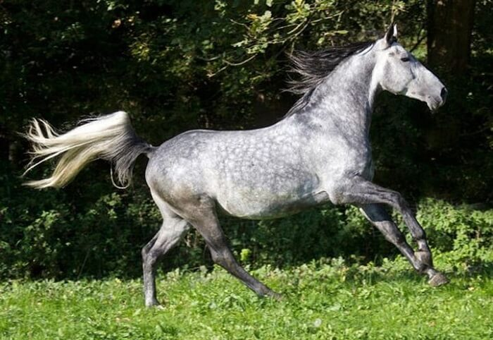 rarest horse breed 2 (1)