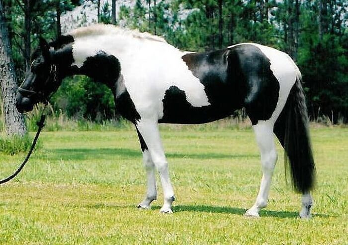 rarest horse breed 3 (1)