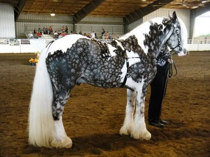 rarest horse breed 7 (1)