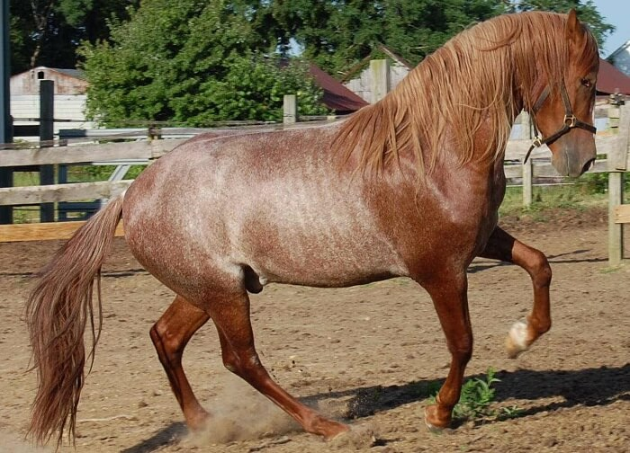 rarest horse breed 8 (1)
