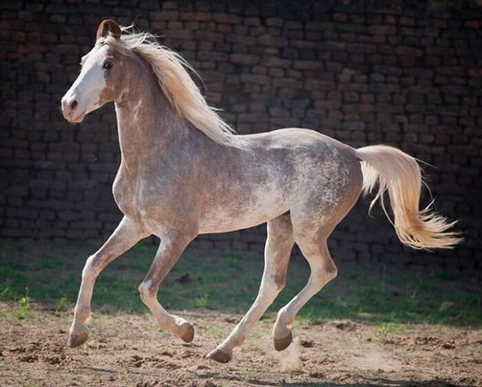 rarest horse breed 9 (1)